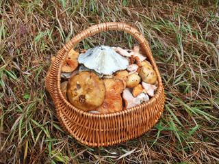 Wicker basket with mushrooms in the grass