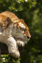 Door stickers Tiger Goude tijger in rust.
