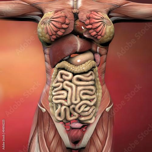 Женские половьіе органы виды фото