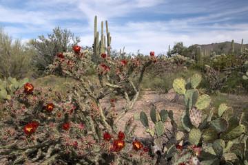 Saguaro-Nationalpark, Arizona, USA