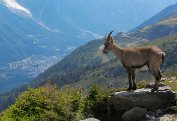 Bouquetinor Ibex on a rocky alpine mountain looking down at the Chamonix valley