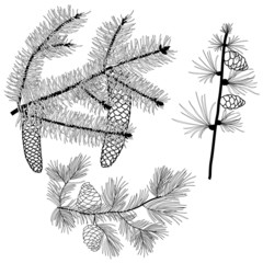 Black and white conifer branches with needles and cones