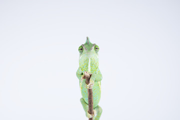 Cute little chameleon pet on a branch (studio, wallpaper, background)