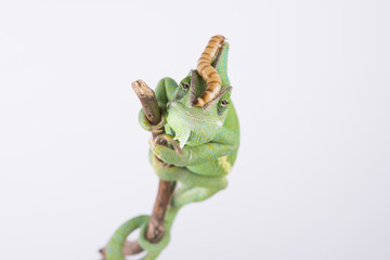 Beautiful chameleon with larva on the head (studio, wallpaper)