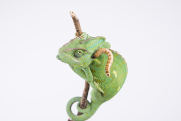 Amazing chameleon with larva on the head (background, studio)