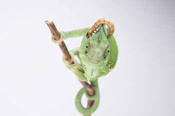 Amazing chameleon with larva on the head (studio, background)