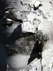 Bark Peeling Off Birch Tree