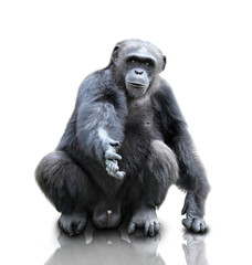 A gorilla sitting on white background, isolated