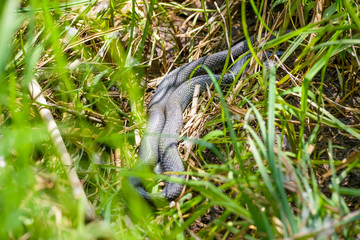 Grass-snake crawling in the grass