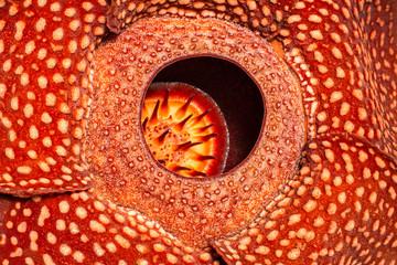 Papier Peint - Rafflesia close-up, the biggest flower in the world , Sumatra, I