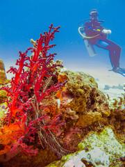 Diver at the corals