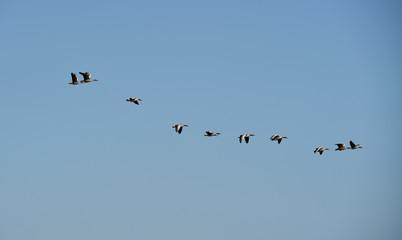 Graugänse fliegen