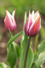 Two pink tulips in the garden.