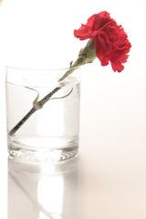 Obraz Czerwony goździk w szklance. - fototapety do salonu