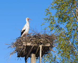 White Stork (Ciconia ciconia) standing on wooden  platform nest