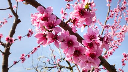 Photos Illustrations Et Videos De Fleur De Pecher