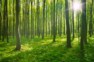 Papiers peints Forets forest in spring