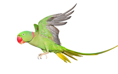 Alexandrine Parrot isolated on white