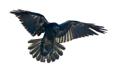Raven in flight on white background