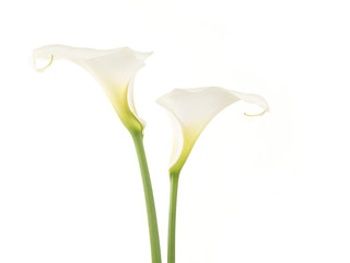 Wall Murals Flower shop Two pretty white calla lilies isolated on a white background