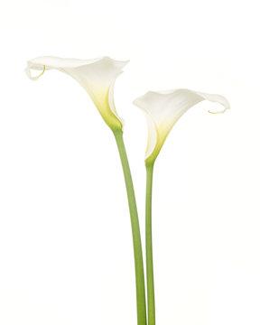 Twee witte calla aronskelk bloemen tegen een witte achtergrond