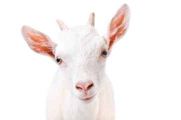 Portrait of a curious young goat