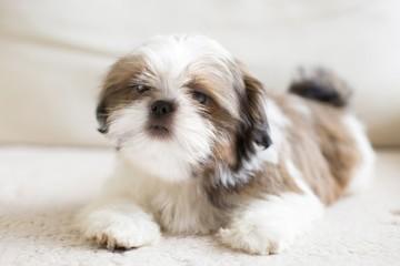 Lovely sad-eyed shih tzu puppy - full size