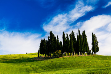 Wall Mural - Cypress trees on a hill in Tuscany, Italy.