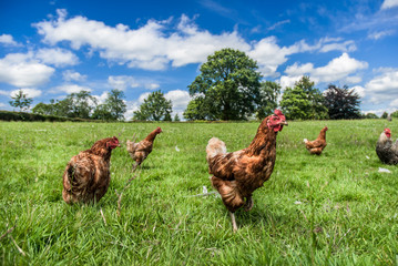 Cadres-photo bureau Poules Free Range Chickens
