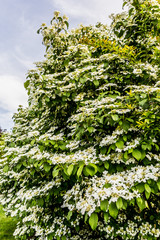 Floraison de Seringas au printemps
