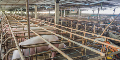 image of indoor dirty pig farm with paddock.