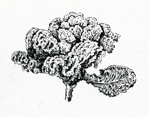 Kale or borecole (Brassica oleracea Acephala Group)