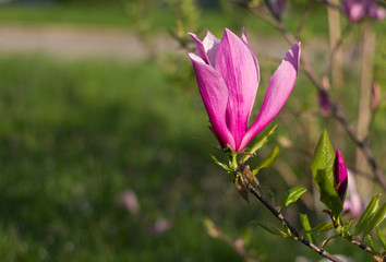Beautiful pink Magnolia flower on green backgrounds.