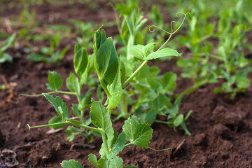 green peas on the garden bed