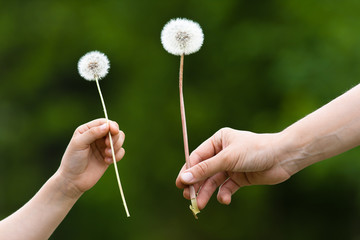 two hands, child and women, holding a dandelion on blurred backg