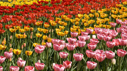 Background colorful tulips