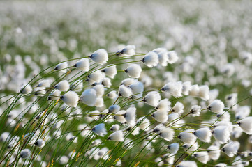 The plant cotton grass in a strong wind