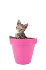 Printed roller blinds Cat Cypers kitten, jonge kat, in een roze bloempot tegen een witte achtergrond