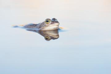 Printed roller blinds Frog Blauwe heikikker liggend in het water met spiegelbeeld