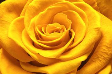 Close up beautiful rose