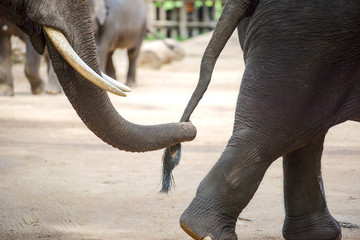 Close up elephant trunk holding the tail of another elephant.