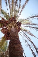 Palma daktylowa w Egipcie