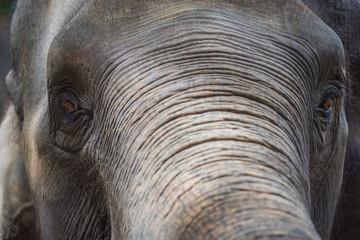 Close up Asian elephant head ,Thailand