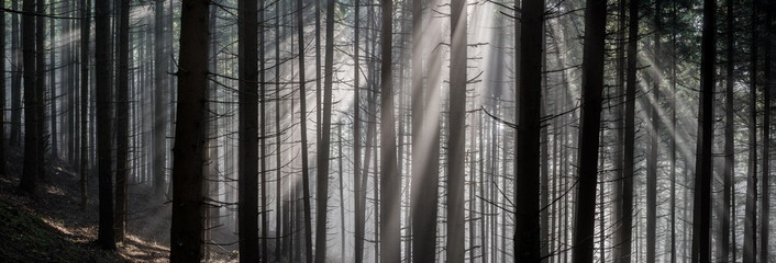 Rays in the Forest. Sun rays pass through morning in the forest.