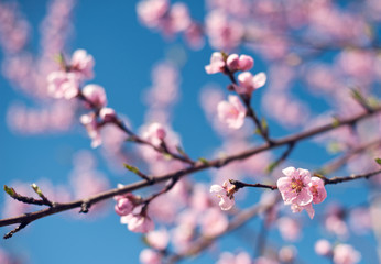 Kwitnąca brzoskwinia