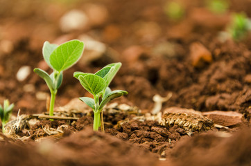 Soy seedlings springing up from the plantation soil Wall mural