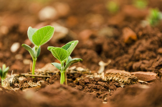 Soy seedlings springing up from the plantation soil