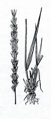 Lyme grass (Leymus arenarius)
