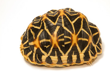 Indian Starred Tortoise