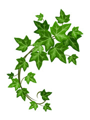 Obraz Vector green ivy branch isolated on a white background. - fototapety do salonu